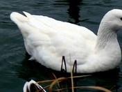Goose of afriqua