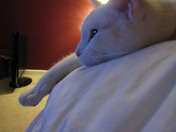 Purrl watching TV.jpg