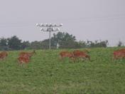 Deer in Pfafftown