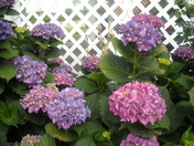 Hazel's Hydrangeas