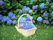 Hazel's Hydrangeas ~ 6-6-10