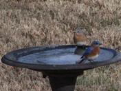 2 Blue Birds Sitting in the Bath