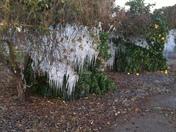 Frozen citrus trees