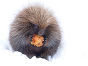 Porcupine with apple