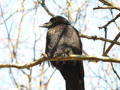 Raven taking rest on a tree branch