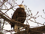 Bald Eagle at Red Rock