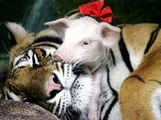 TigerPigs3.jpg