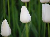 White tulip close up