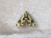 GI JOE moth