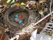 Robins Hatching Picture #1