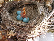 Robins Hatching Picture #2