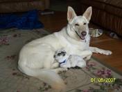 baby goat and big dog