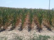 sick corn field