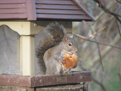 Squirrel with a muffin