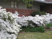 derby week azaleas