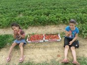 My girls had a ball picking strawberries!