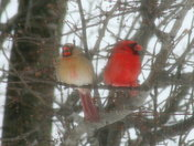 Snow with Cardinals004.jpg