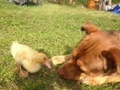 Baby Quacker's and her 'Mother' Trusty