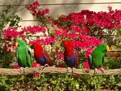 PICTURE FOR ADVERTISING of Eclectus.JPG