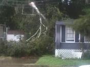 Fallen tree from wind