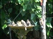 bathing birdies