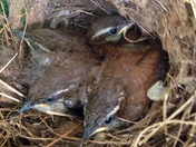 Baby wrens all grown up