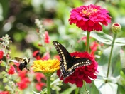 Bee n butterfly on home grown ZINNIAS