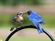 Male bluebird feeding his spouse ....Awe