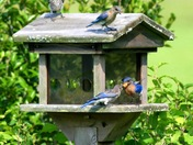 ..it's a party..Daddy Bluebird feeding his little ones