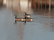 Geese- Lake of the Ozarks