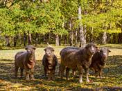 Sheep @ Watkins Mill  Lawson MO