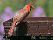 Female Cardinal Rides the Rails