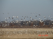 Snow Geese near Chillicothe 012.jpg