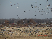 Snow Geese near Chillicothe 2