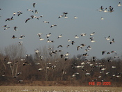 Snow Geese near Chillicothe 3