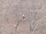 Bald Eagle in Swope Park