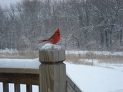 Red Bird feeding during the storm