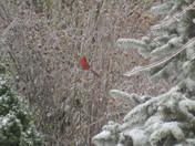 Cardinal in snow 3-28-09