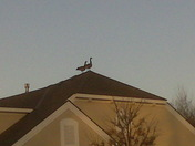 Geese on the Roof