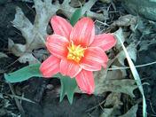 Tulip?