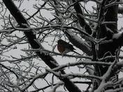 Snowy Red Robin