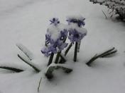 Wintery Hyacinth