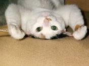 Calli, the upside down cat