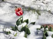 Tulip in the Snow