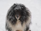 Sheltie in snow in Leavenworth