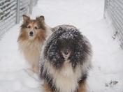 Shelties in snow in Leavenworth