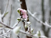 Peach Blossom1.jpg