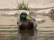 duck 01