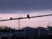 Pigeon and crane