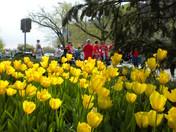 Trolley Run tulips